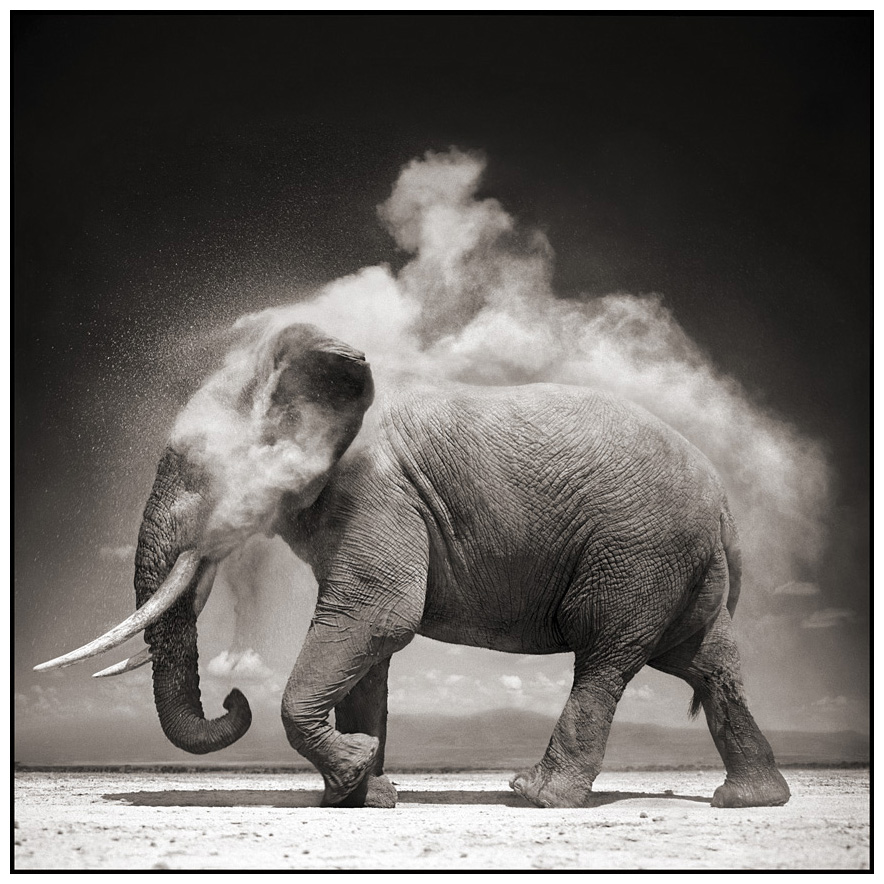 Nick Brandt - Elephant With Exploding Dust - artFido