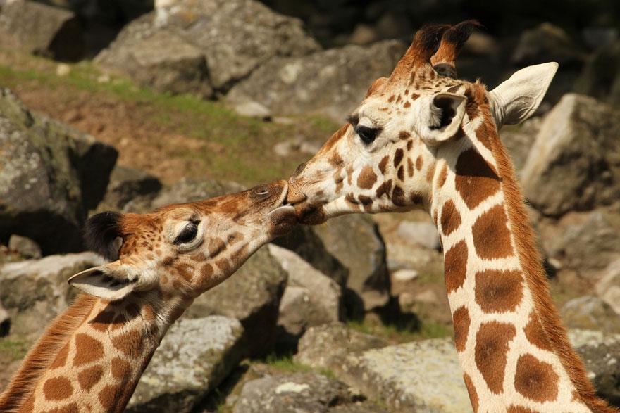cute-kissing-animals-love-22__880