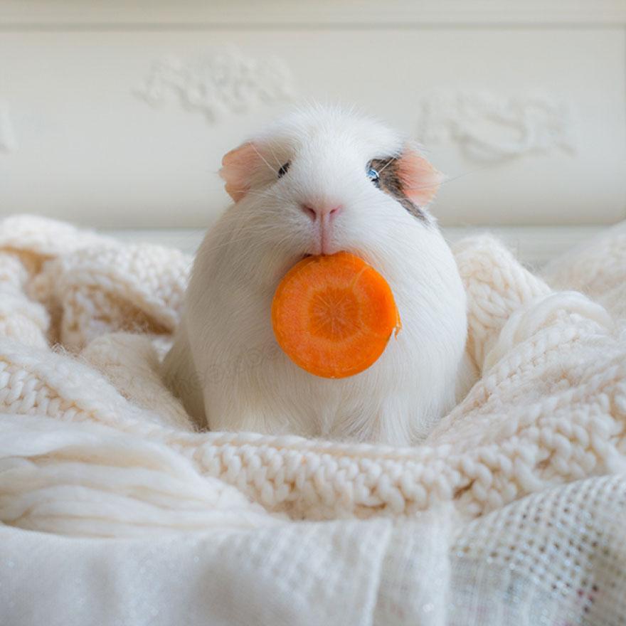 guinea-pig-booboo-lieveheersbeestje-61