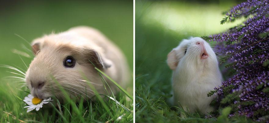 guinea-pig-booboo-lieveheersbeestje-62