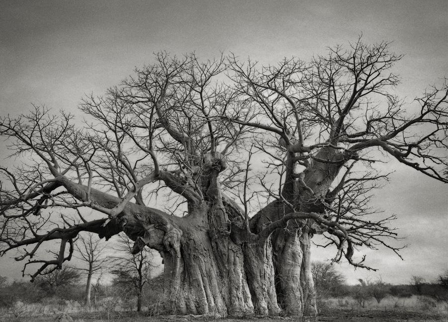 Bufflesdrift-Baobab-2-2-copy