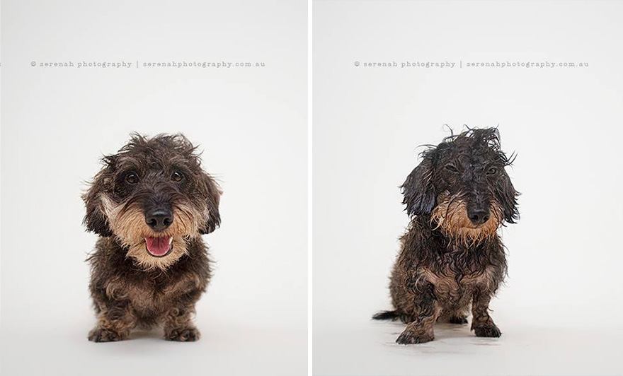 animal-portraits-dry-wet-dog-serenah-hodson-8