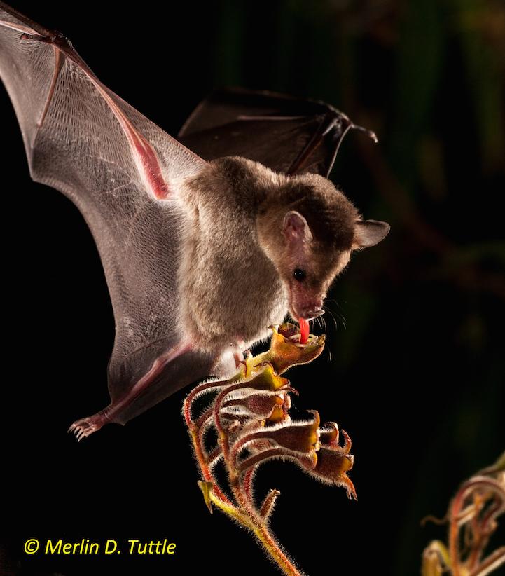 Leache's long-tongued bat (Phyllostomidae; Monophyllus redmoni) at search-me-heart flowers (Gesneriaceae; Rhytidophyllum tomentosum)