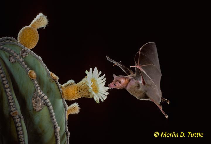 Lesser long-nosed bat (Leptonycteris yerbabuenae; Phyllostomidae) at cardon cactus