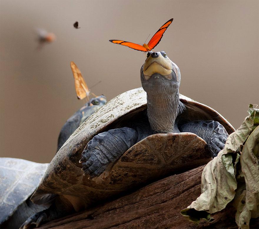butterflies-drink-turtle-tears-lacryphagy-e(2)