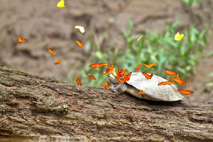 butterflies-drink-turtle-tears-lacryphagy-e(3)